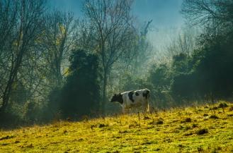 Cow in Bookham mist